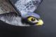 Nederlandse robotvogel strekt vleugels uit in Canada